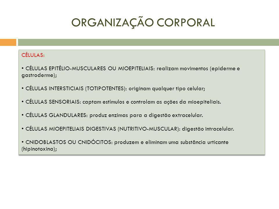 ORGANIZAÇÃO CORPORAL CÉLULAS: CÉLULAS EPITÉLIO-MUSCULARES OU MIOEPITELIAIS: realizam movimentos (epiderme e gastroderme); CÉLULAS INTERSTICIAIS (TOTIP