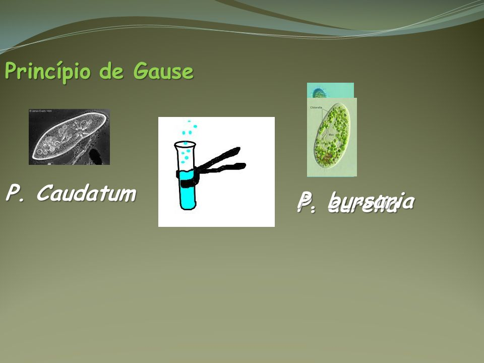 Princípio de Gause P. Caudatum P. aurelia P. bursaria