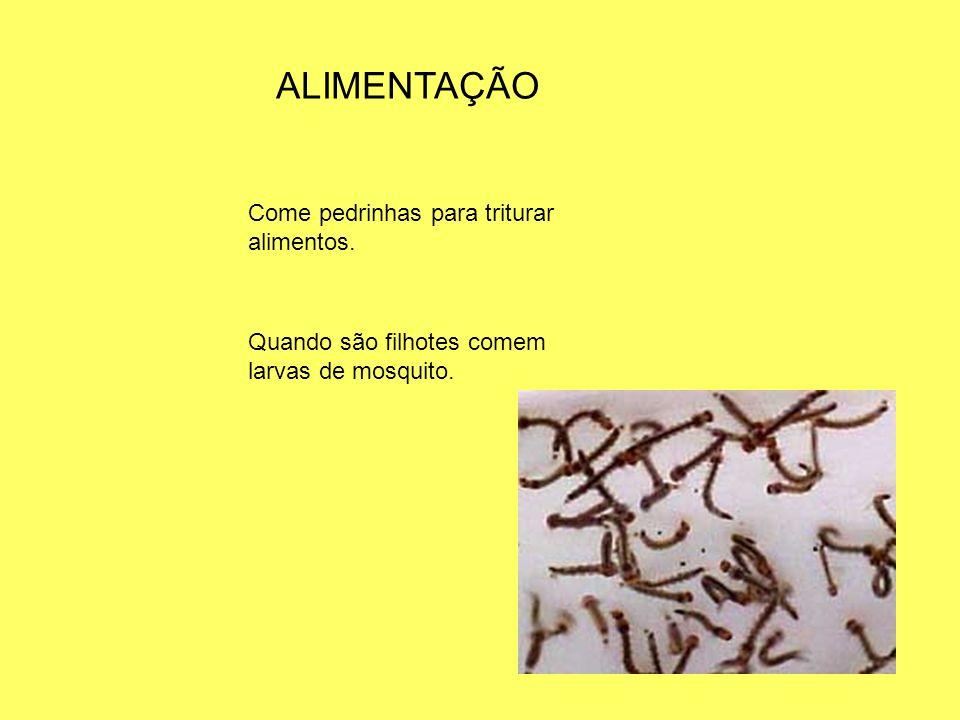 CURIOSIDADES Você sabia que as emas são destaque no folclore Brasileiro,onde usa-se suas penas no bailado popular bumba meu boi.