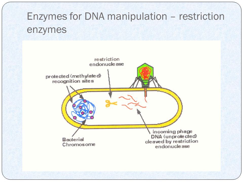 Enzymes for DNA manipulation – restriction enzymes