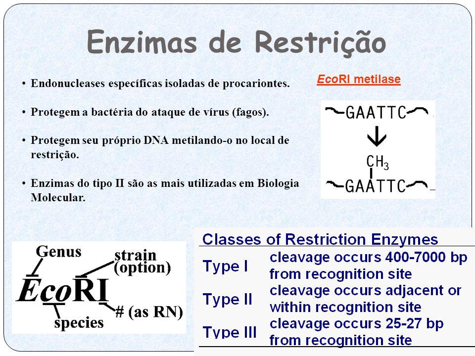 Enzimas de Restrição Endonucleases específicas isoladas de procariontes. Protegem a bactéria do ataque de vírus (fagos). Protegem seu próprio DNA meti