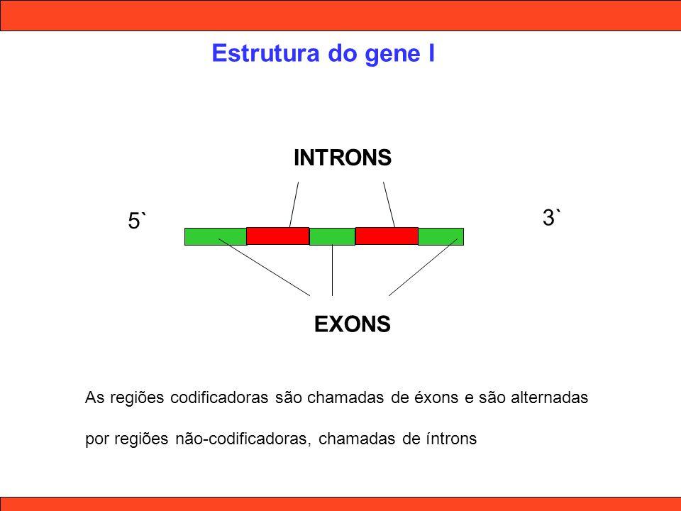 Estrutura do gene I 5` 3` EXONS INTRONS As regiões codificadoras são chamadas de éxons e são alternadas por regiões não-codificadoras, chamadas de ínt
