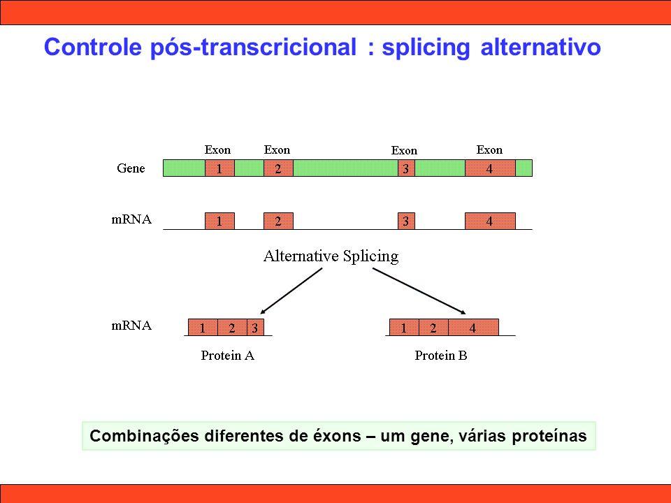 Controle pós-transcricional : splicing alternativo Combinações diferentes de éxons – um gene, várias proteínas