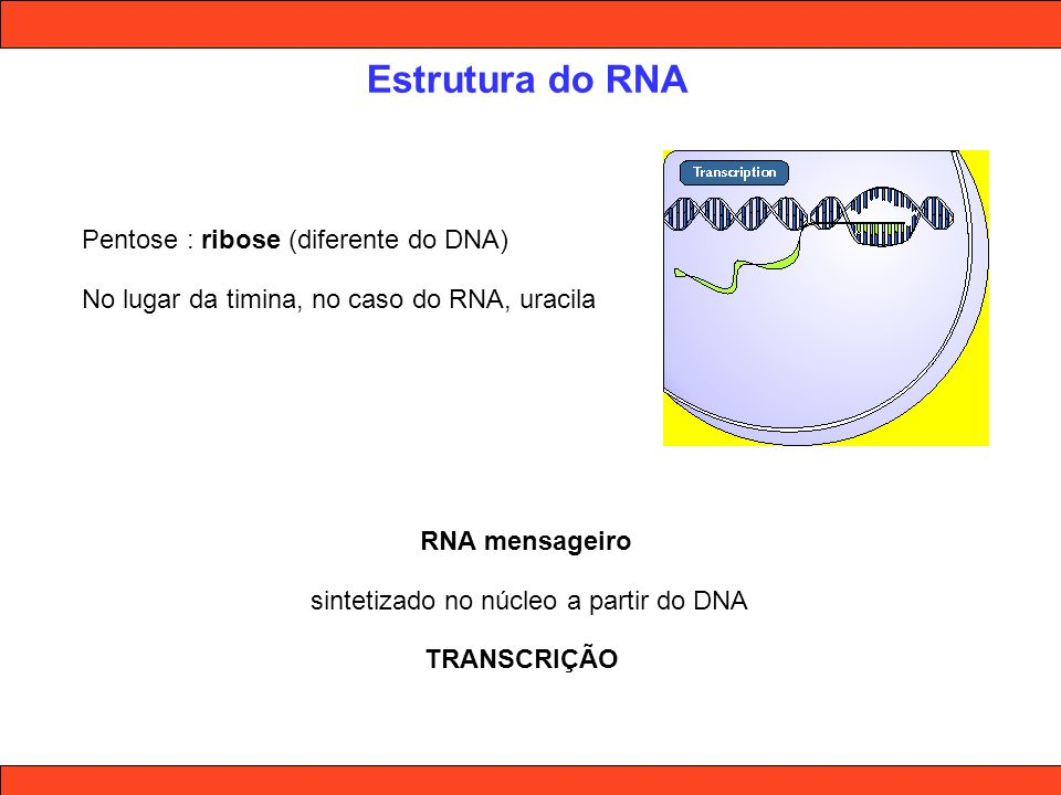 Estrutura do RNA Pentose : ribose (diferente do DNA) No lugar da timina, no caso do RNA, uracila RNA mensageiro sintetizado no núcleo a partir do DNA