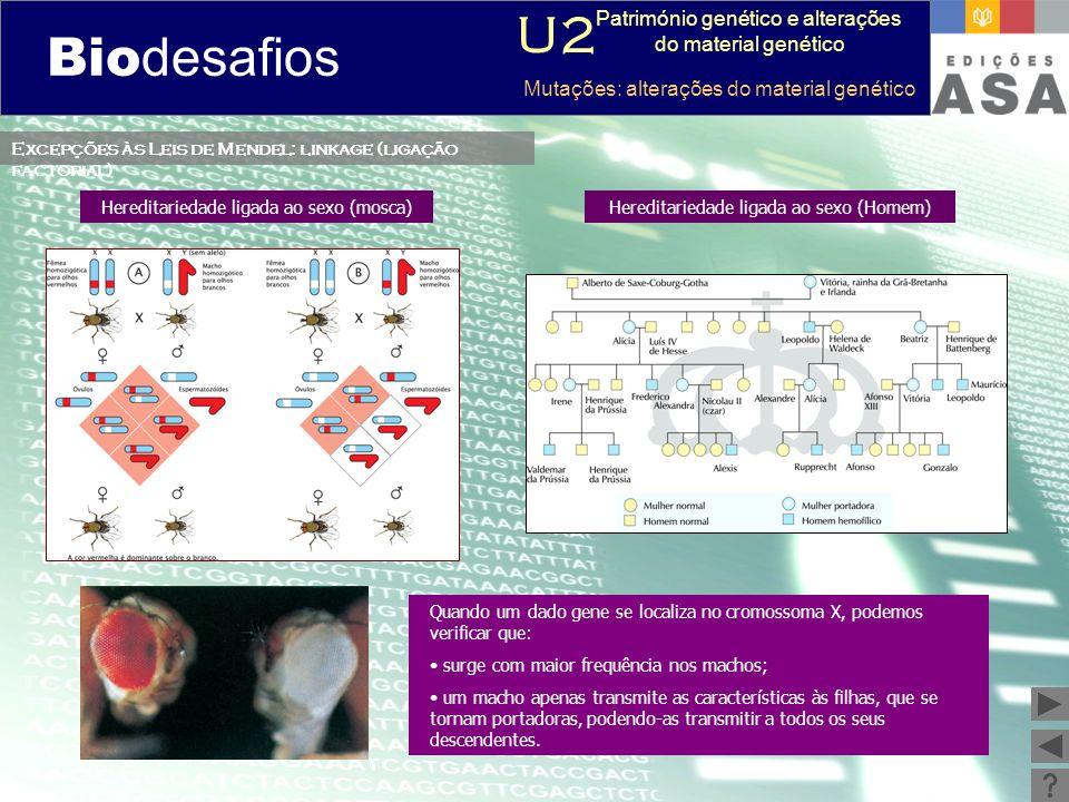 Biodesafios 12 Excepções às Leis de Mendel: linkage (ligação factorial) Quando um dado gene se localiza no cromossoma X, podemos verificar que: surge