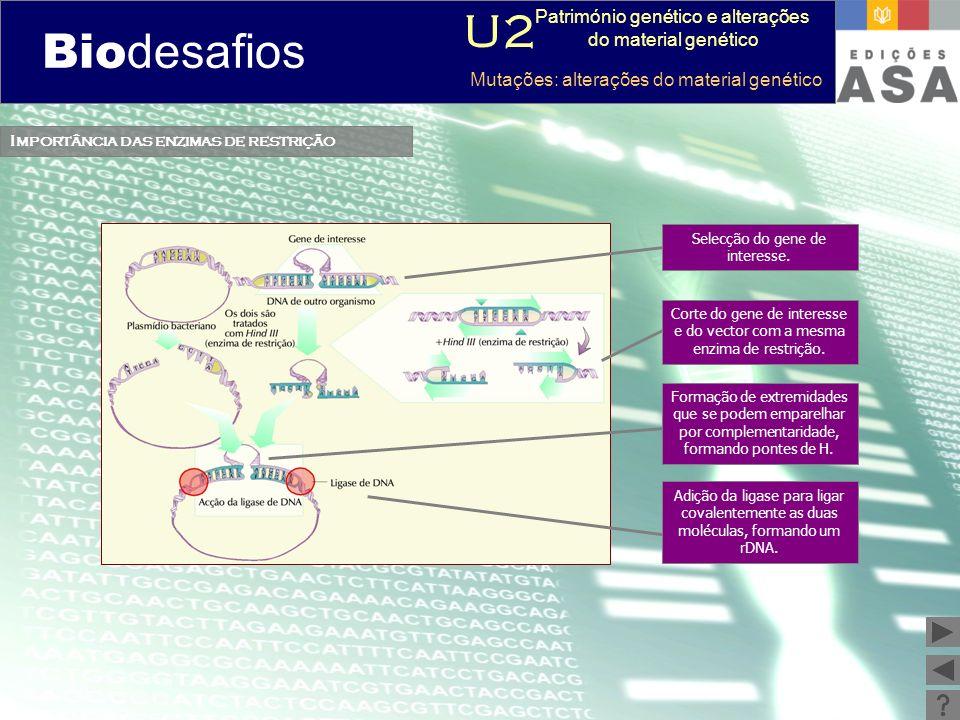 Biodesafios 12 Importância das enzimas de restrição Selecção do gene de interesse. Corte do gene de interesse e do vector com a mesma enzima de restri