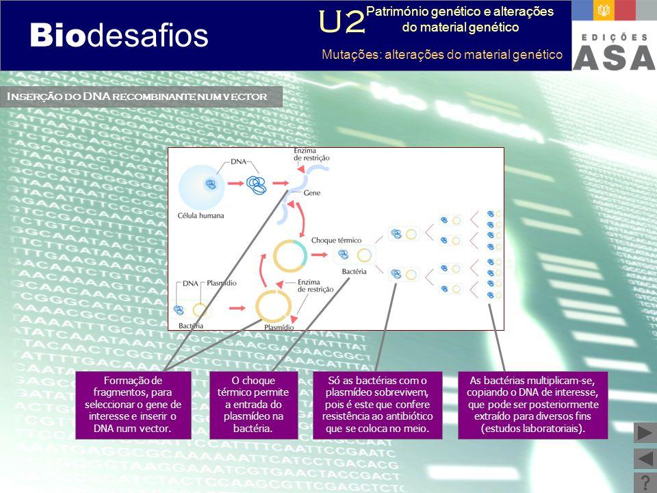Biodesafios 12 Inserção do DNA recombinante num vector Formação de fragmentos, para seleccionar o gene de interesse e inserir o DNA num vector. O choq