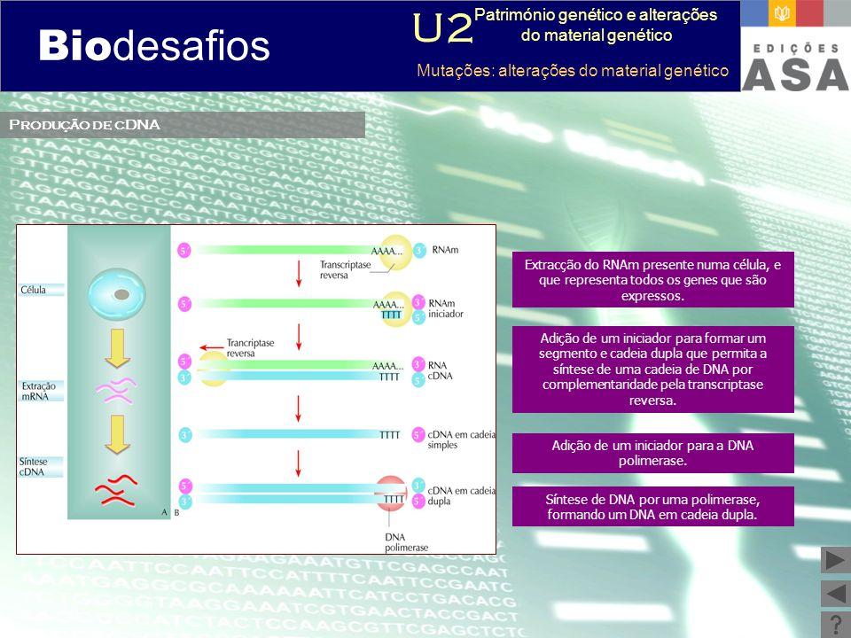 Biodesafios 12 Produção de cDNA Extracção do RNAm presente numa célula, e que representa todos os genes que são expressos. Adição de um iniciador para