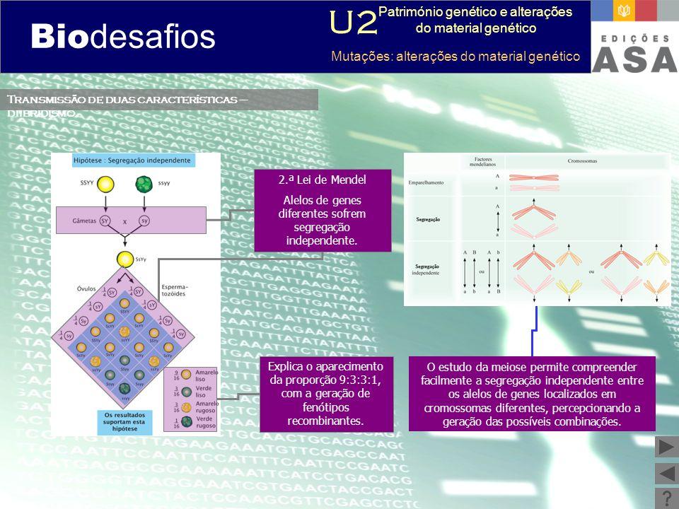 Biodesafios 12 Transmissão de duas características – diibridismo O estudo da meiose permite compreender facilmente a segregação independente entre os