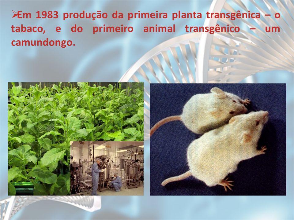 Em 1983 produção da primeira planta transgênica – o tabaco, e do primeiro animal transgênico – um camundongo.