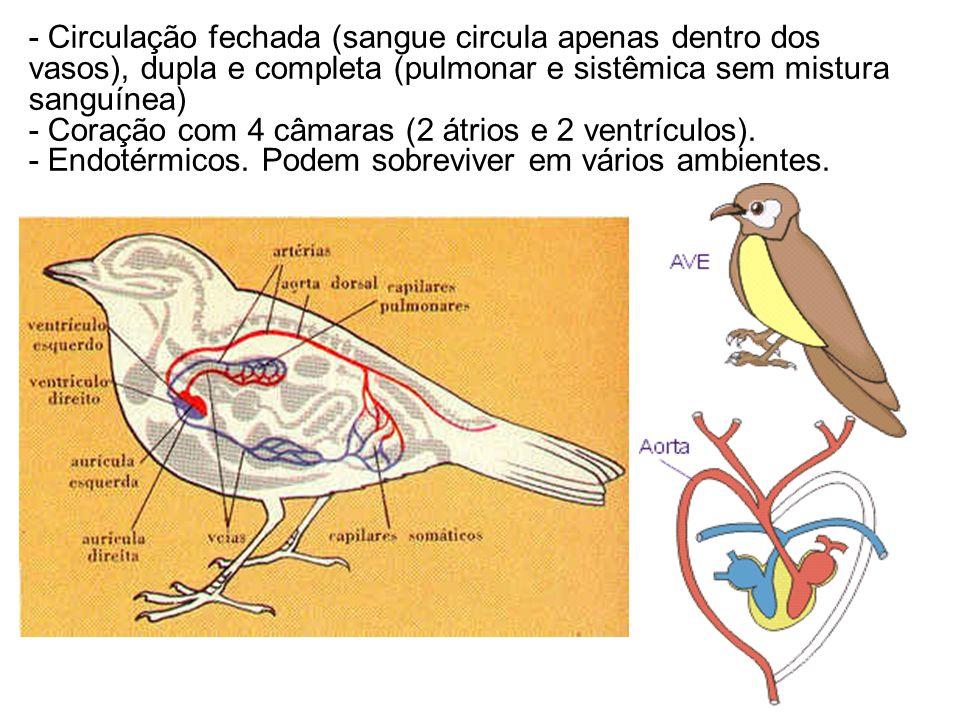 - Circulação fechada (sangue circula apenas dentro dos vasos), dupla e completa (pulmonar e sistêmica sem mistura sanguínea) - Coração com 4 câmaras (