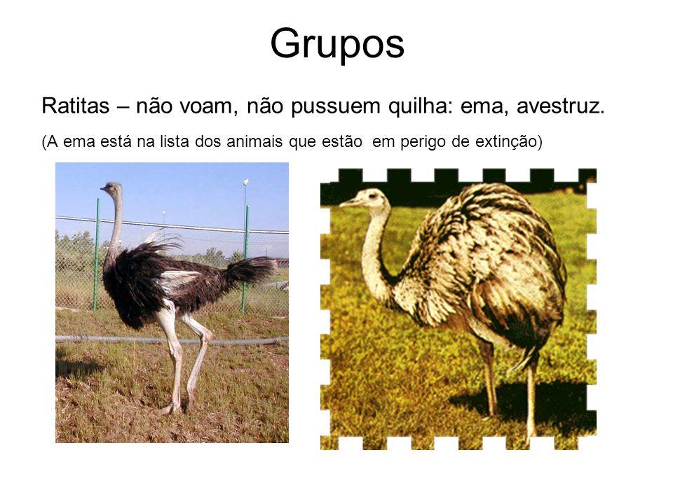 Grupos Ratitas – não voam, não pussuem quilha: ema, avestruz. (A ema está na lista dos animais que estão em perigo de extinção)