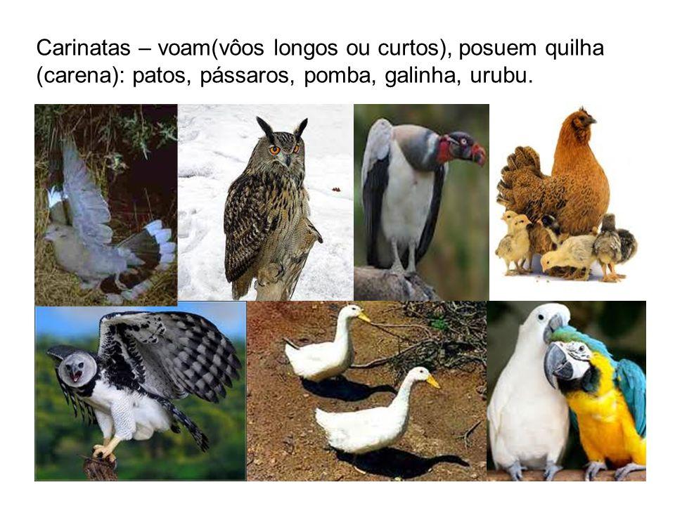 Carinatas – voam(vôos longos ou curtos), posuem quilha (carena): patos, pássaros, pomba, galinha, urubu.