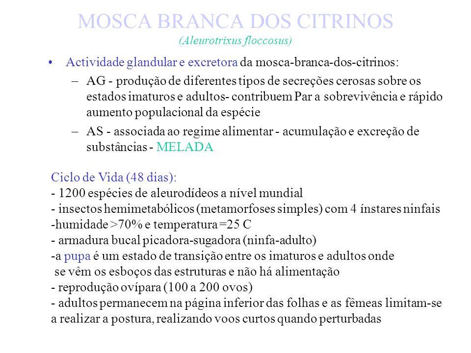 MOSCA BRANCA DOS CITRINOS (Aleurotrixus floccosus) Factores decisivos na abundância da mosca-branca-dos-citrinos: –hospedeiro –temperatura –humidade r