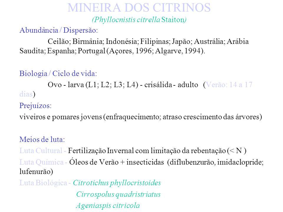MOSCA BRANCA DOS CITRINOS (Aleurotrixus floccosus) 4º ínstar: - forma elíptica - coloração amarelada - maior acentuação da segmentação - maior nitidez