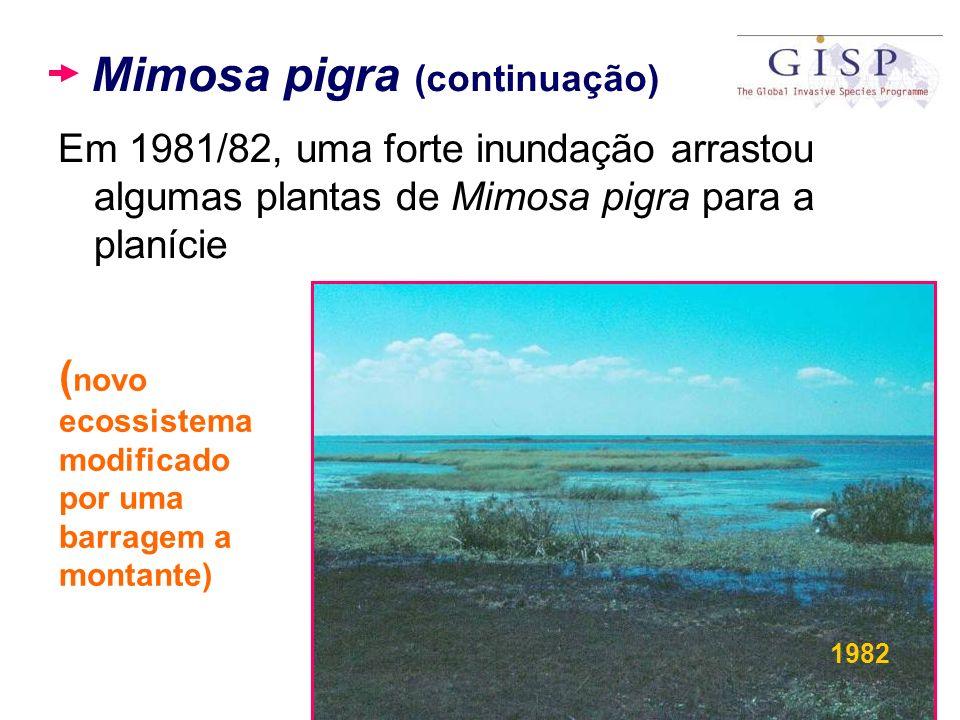 Mimosa pigra (continuação) Em 1981/82, uma forte inundação arrastou algumas plantas de Mimosa pigra para a planície ( novo ecossistema modificado por