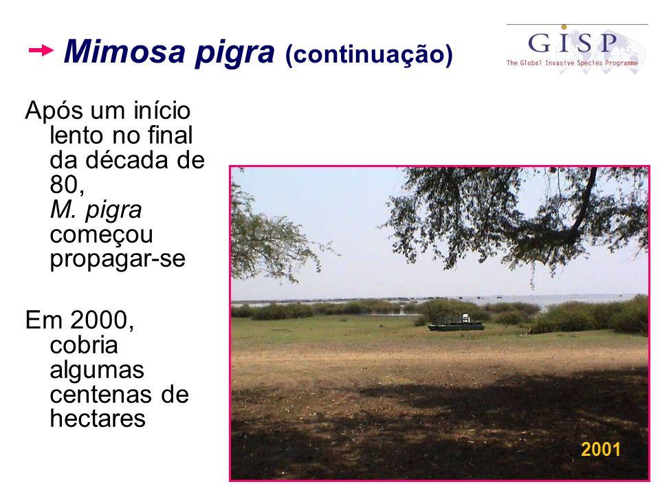 Mimosa pigra (continuação) Após um início lento no final da década de 80, M. pigra começou propagar-se Em 2000, cobria algumas centenas de hectares 20