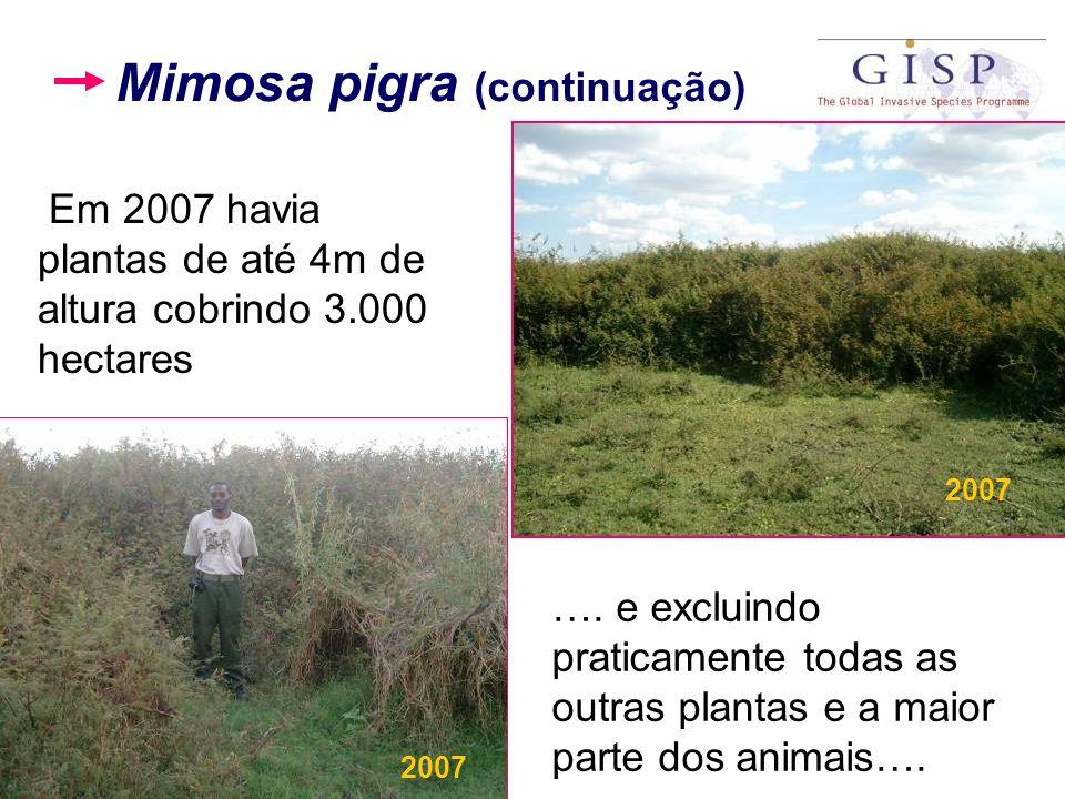 Em 2007 havia plantas de até 4m de altura cobrindo 3.000 hectares …. e excluindo praticamente todas as outras plantas e a maior parte dos animais…. 20