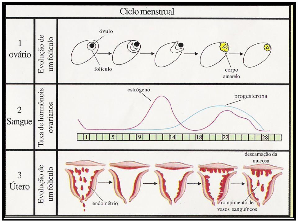 Como ocorre a M MM Menstruação: