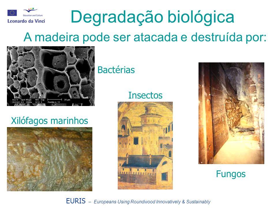 Degradação biológica A madeira pode ser atacada e destruída por: Bactérias Insectos Fungos Xilófagos marinhos EURIS – Europeans Using Roundwood Innovatively & Sustainably