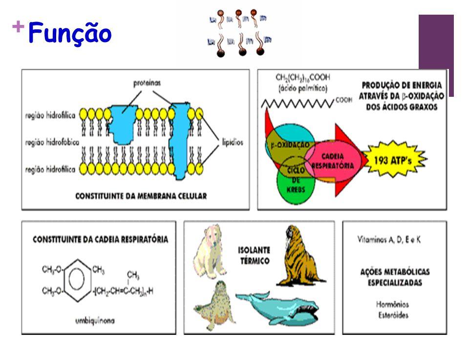 + Cerebrosídios Definição: ácidos graxos, galactose e aminoálcoois.