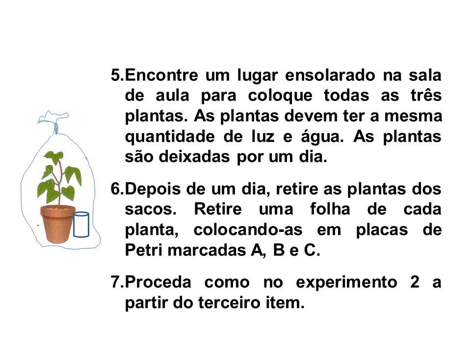 5.Encontre um lugar ensolarado na sala de aula para coloque todas as três plantas. As plantas devem ter a mesma quantidade de luz e água. As plantas s