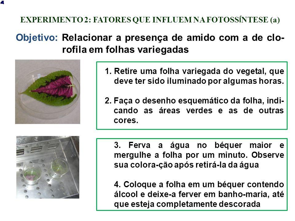 EXPERIMENTO 2: FATORES QUE INFLUEM NA FOTOSS Í NTESE (a) 1.Retire uma folha variegada do vegetal, que deve ter sido iluminado por algumas horas. 2.Faç