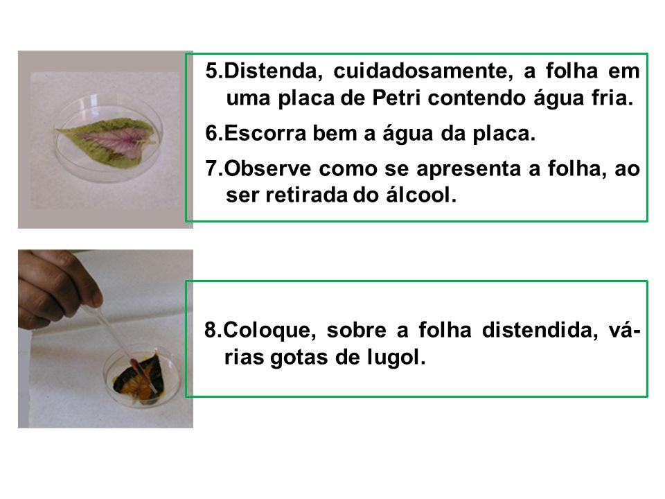5.Distenda, cuidadosamente, a folha em uma placa de Petri contendo água fria. 6.Escorra bem a água da placa. 7.Observe como se apresenta a folha, ao s