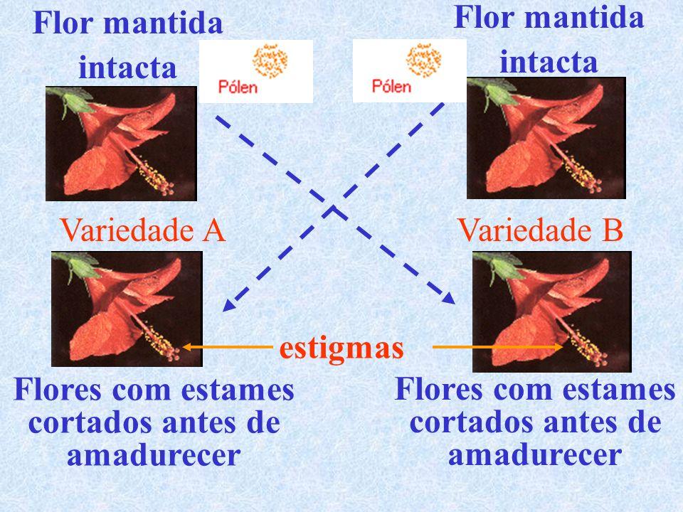 Flor mantida intacta Flor mantida intacta Flores com estames cortados antes de amadurecer Flores com estames cortados antes de amadurecer estigmas Variedade AVariedade B