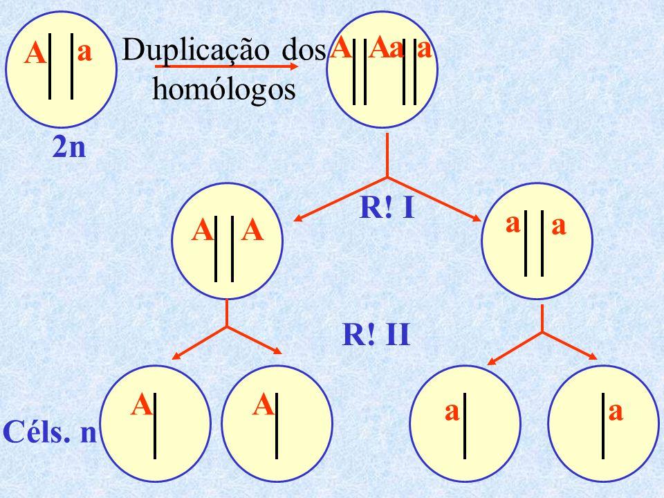 Duplicação dos homólogos R! I 2n Céls. n R! II a AA AA AA A a a a a aa