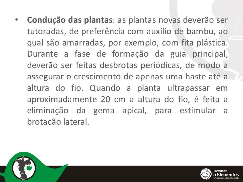 Condução das plantas: as plantas novas deverão ser tutoradas, de preferência com auxílio de bambu, ao qual são amarradas, por exemplo, com fita plásti