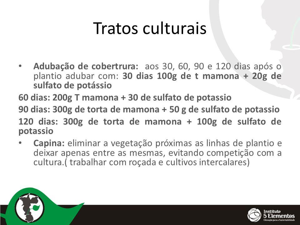 Tratos culturais Adubação de cobertrura: aos 30, 60, 90 e 120 dias após o plantio adubar com: 30 dias 100g de t mamona + 20g de sulfato de potássio 60