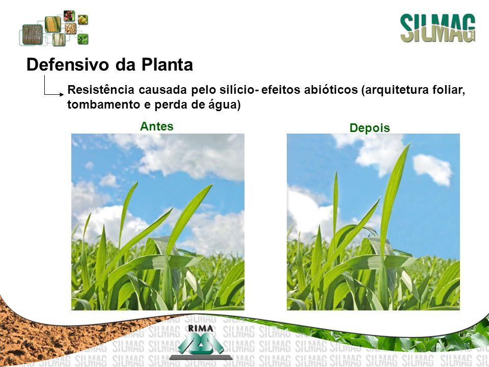 Defensivo da Planta Resistência causada pelo silício- efeitos abióticos (arquitetura foliar, tombamento e perda de água) Antes Depois