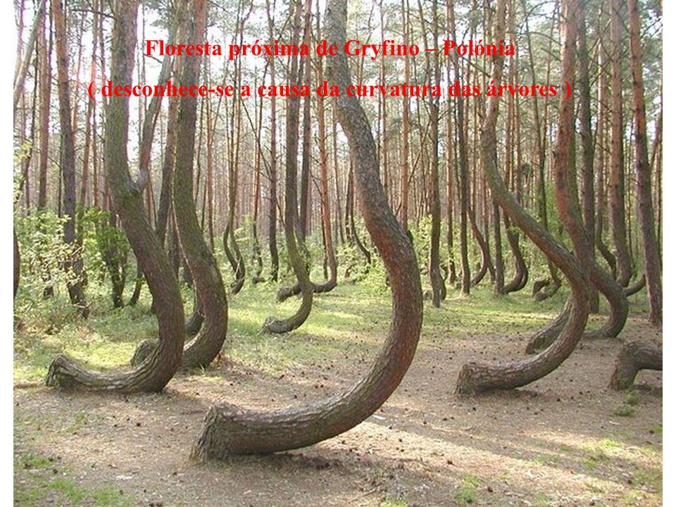 Floresta próxima de Gryfino – Polónia ( desconhece-se a causa da curvatura das árvores )