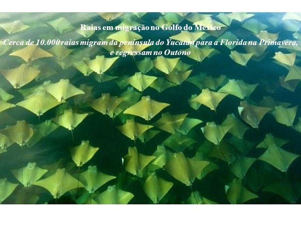 Raias em migração no Golfo do México Cerca de 10.000 raias migram da península do Yucatan para a Florida na Primavera, e regressam no Outono