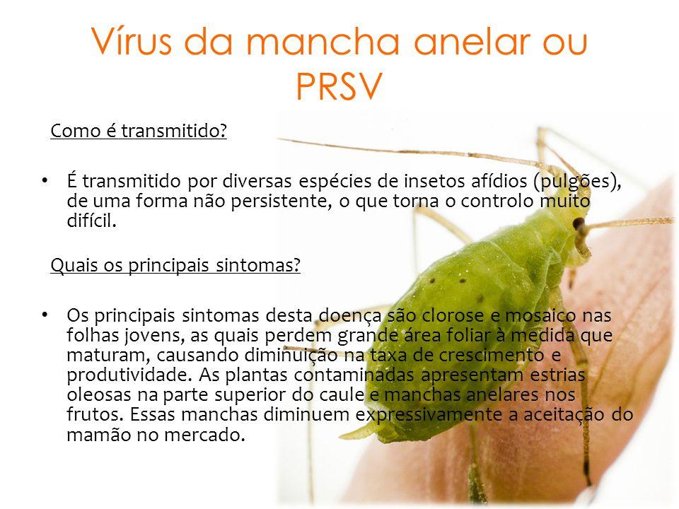 Vírus da mancha anelar ou PRSV Como é transmitido? É transmitido por diversas espécies de insetos afídios (pulgões), de uma forma não persistente, o q