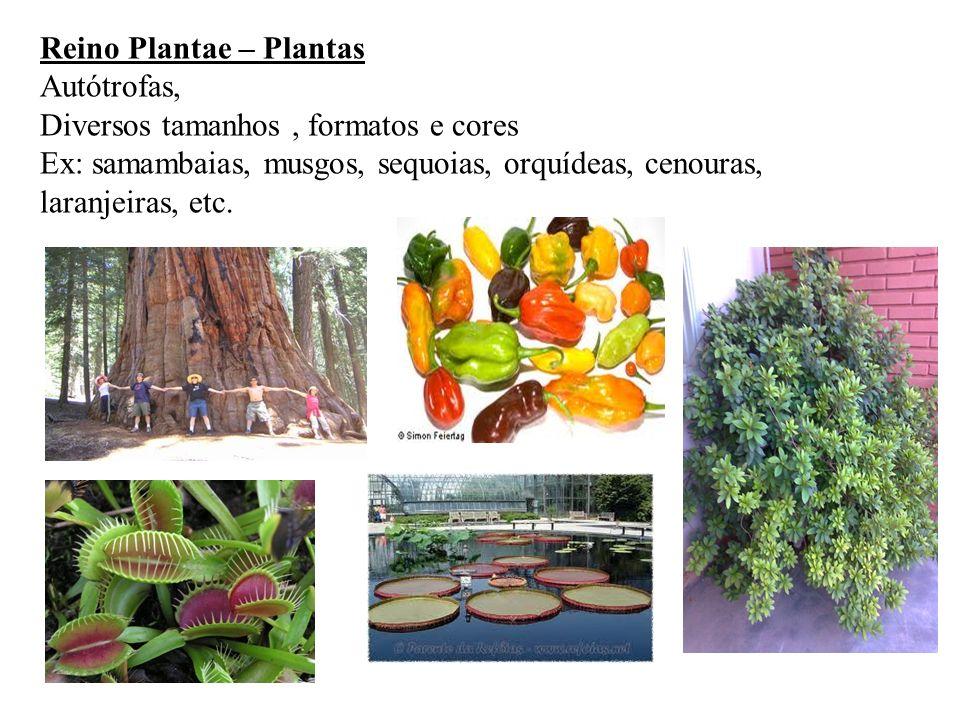 Reino Plantae – Plantas Autótrofas, Diversos tamanhos, formatos e cores Ex: samambaias, musgos, sequoias, orquídeas, cenouras, laranjeiras, etc.