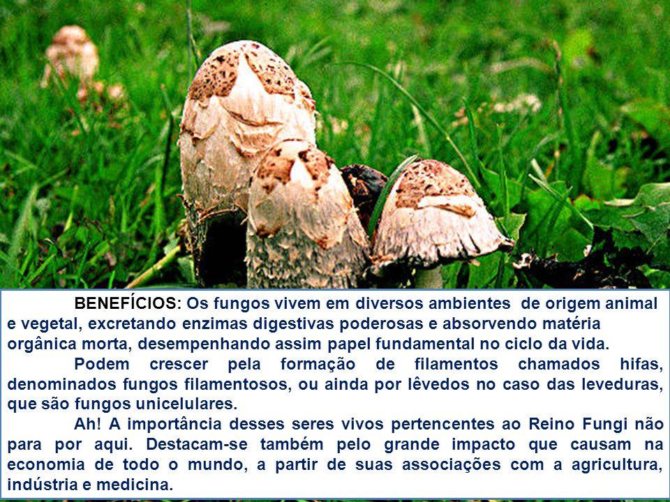 BENEFÍCIOS: Os fungos vivem em diversos ambientes de origem animal e vegetal, excretando enzimas digestivas poderosas e absorvendo matéria orgânica mo