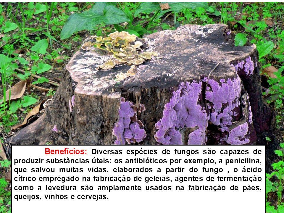 Benefícios: Diversas espécies de fungos são capazes de produzir substâncias úteis: os antibióticos por exemplo, a penicilina, que salvou muitas vidas,