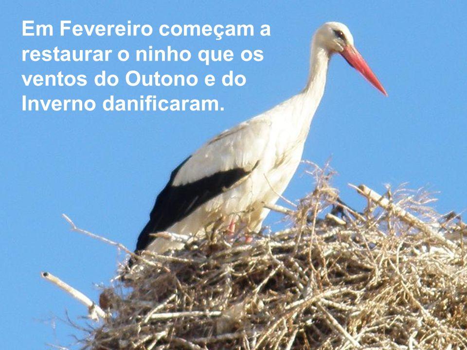 FARO – ALLGARVE - vamos ver as cegonhas. Elas habitam maioritariamente nas torres das igrejas a olhar para a Ria Formosa…