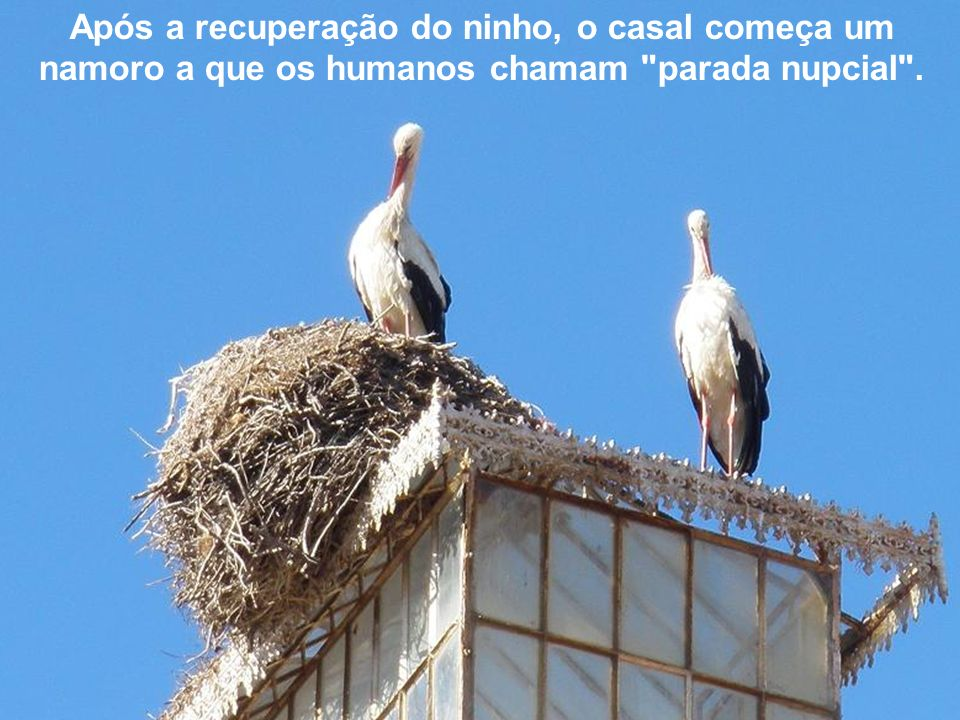 Em Fevereiro começam a restaurar o ninho que os ventos do Outono e do Inverno danificaram.