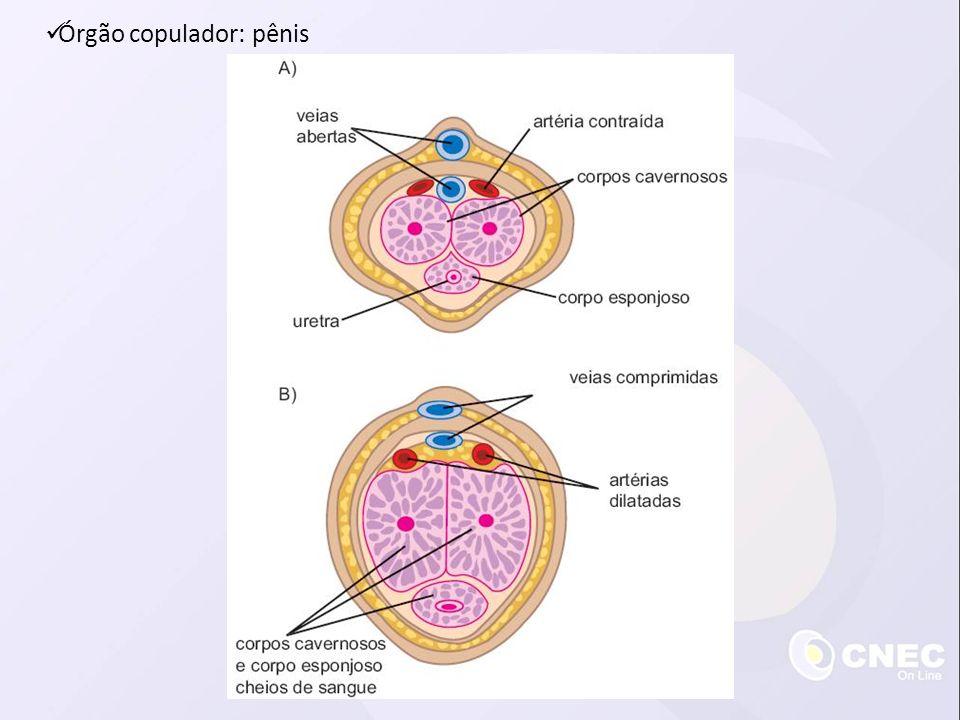 Órgão copulador: pênis