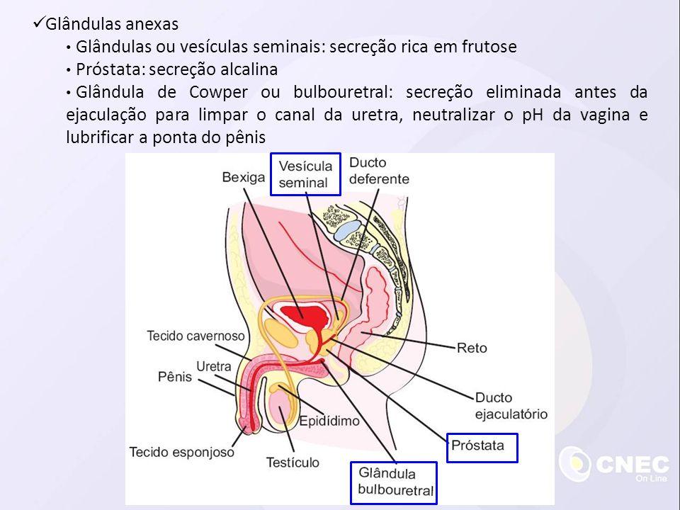 Glândulas anexas Glândulas ou vesículas seminais: secreção rica em frutose Próstata: secreção alcalina Glândula de Cowper ou bulbouretral: secreção el