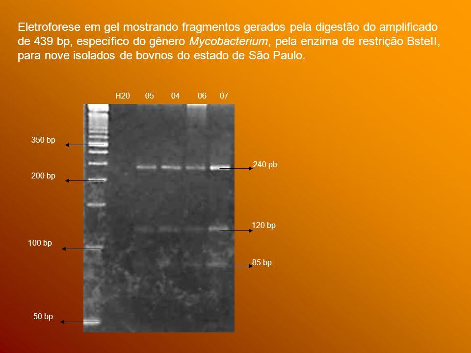 350 bp 200 bp 100 bp 50 bp H20 05 04 06 07 240 pb 120 bp 85 bp Eletroforese em gel mostrando fragmentos gerados pela digestão do amplificado de 439 bp, específico do gênero Mycobacterium, pela enzima de restrição BsteII, para nove isolados de bovnos do estado de São Paulo.