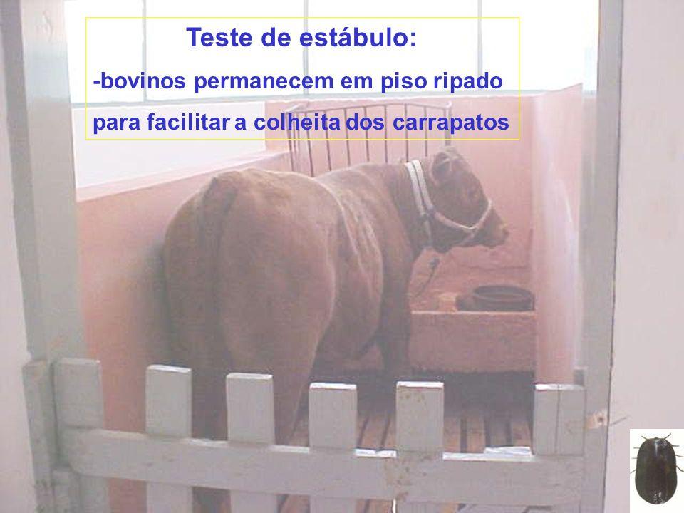 Teste de estábulo: -bovinos permanecem em piso ripado para facilitar a colheita dos carrapatos