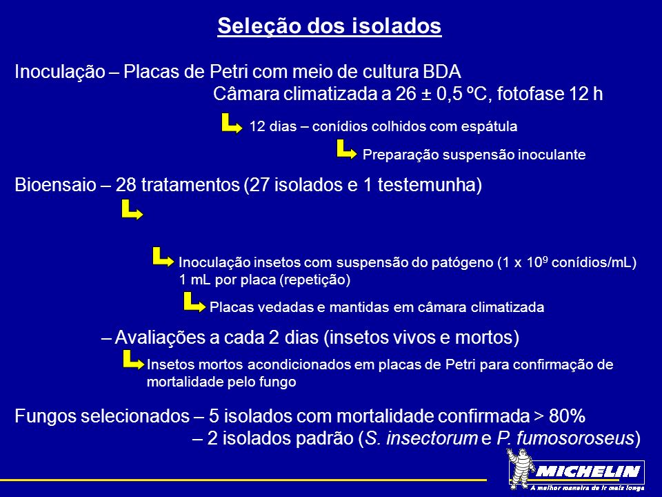Seleção dos isolados Inoculação – Placas de Petri com meio de cultura BDA Câmara climatizada a 26 ± 0,5 ºC, fotofase 12 h 12 dias – conídios colhidos com espátula Preparação suspensão inoculante Bioensaio – 28 tratamentos (27 isolados e 1 testemunha) 5 repetições (Placas Petri com papel filtro umedecido e folíolos de seringueira) 10 insetos por repetição (ninfas 3º ínstar) Inoculação insetos com suspensão do patógeno (1 x 10 9 conídios/mL) 1 mL por placa (repetição) Placas vedadas e mantidas em câmara climatizada – Avaliações a cada 2 dias (insetos vivos e mortos) Insetos mortos acondicionados em placas de Petri para confirmação de mortalidade pelo fungo Fungos selecionados – 5 isolados com mortalidade confirmada > 80% + 2 isolados B.