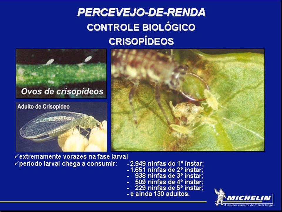 PERCEVEJO-DE-RENDA CONTROLE BIOLÓGICO CRISOPÍDEOS 40% 15% Março a dezembro / 2001 Liberação 1.800.000 ovos ( 500 ha ) Custo de liberação por ha = USD 18