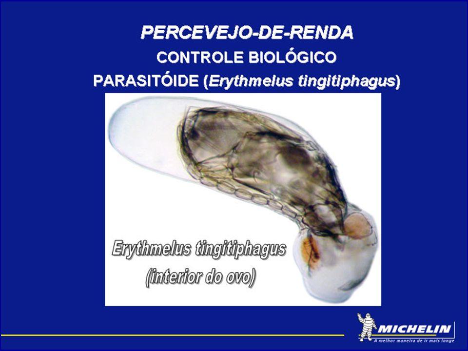 PERCEVEJO-DE-RENDA CONTROLE BIOLÓGICO PARASITÓIDES Área não pulverizada.