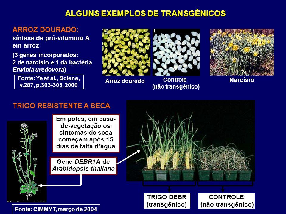 ALGUNS EXEMPLOS DE TRANSGÊNICOS ARROZ DOURADO: síntese de pró-vitamina A em arroz (3 genes incorporados: 2 de narcísio e 1 da bactéria Erwinia uredovo