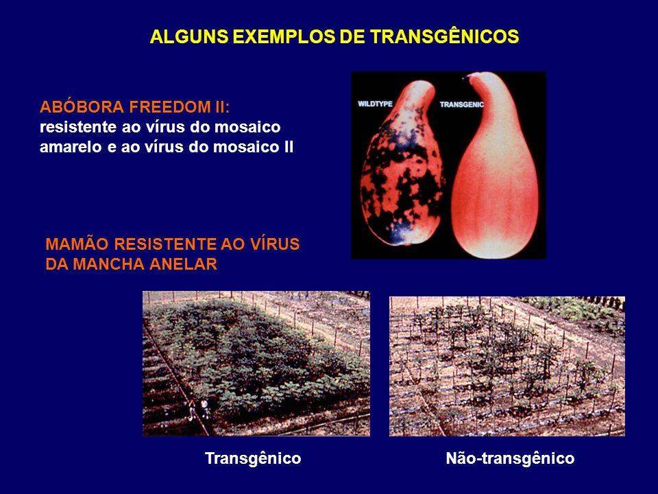 ALGUNS EXEMPLOS DE TRANSGÊNICOS ABÓBORA FREEDOM II: resistente ao vírus do mosaico amarelo e ao vírus do mosaico II MAMÃO RESISTENTE AO VÍRUS DA MANCH